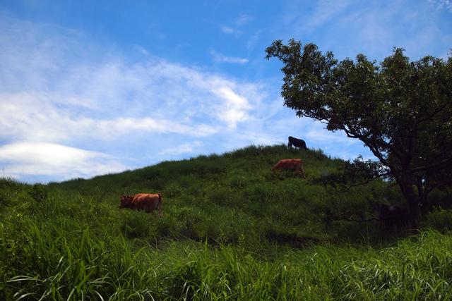 九州の牛さんは元気です。それゆえに心、痛い。