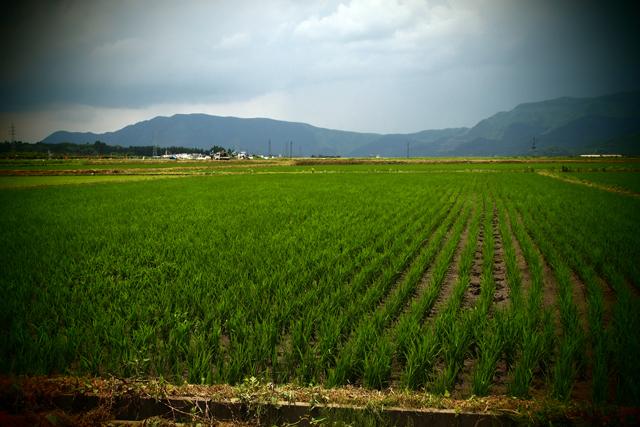 稲も育ってます。