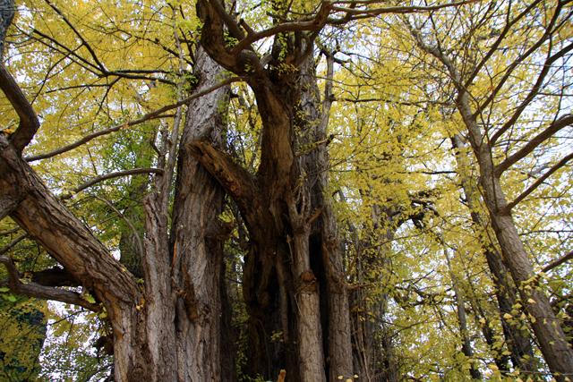 樹齢1000年って。